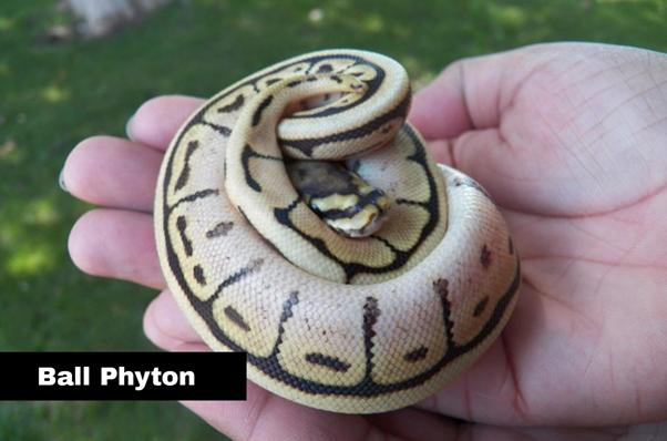 Rekomendasi Peliharaan Reptile Untuk Pemula